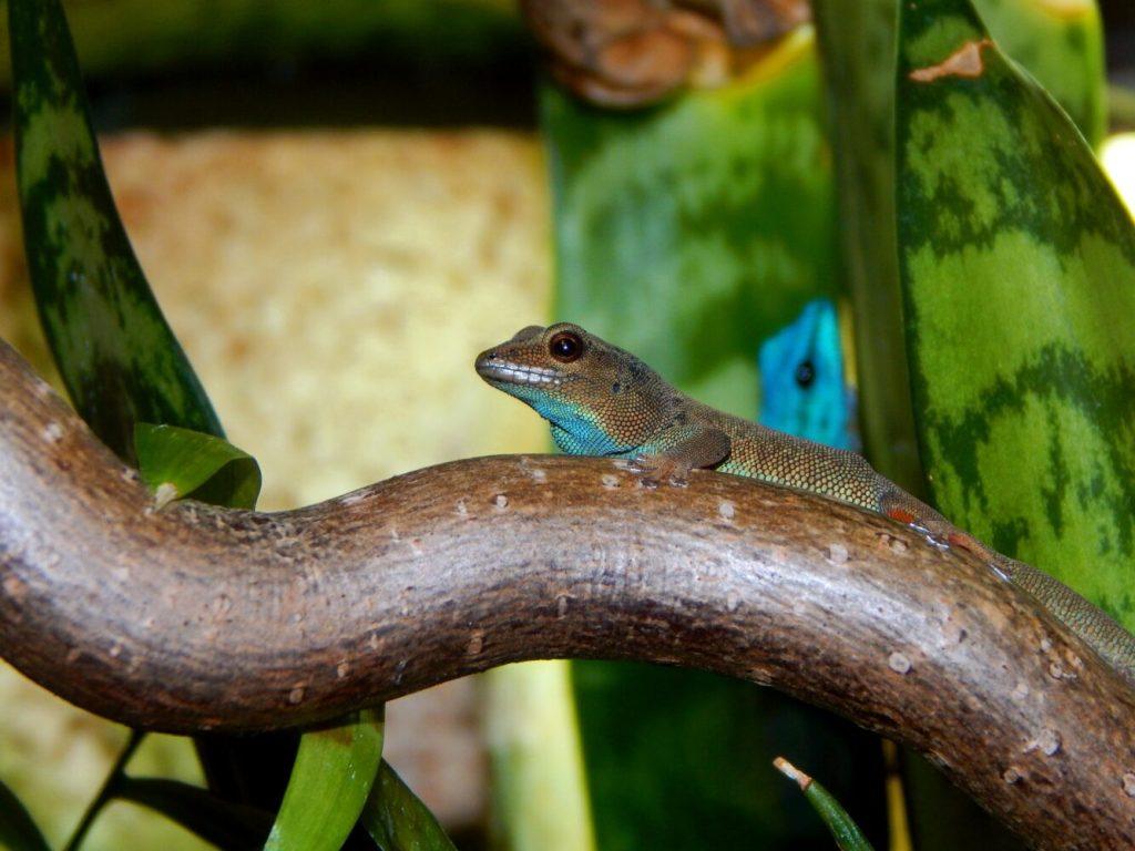 Zwerggecko: Arten, Lebensraum & Haltung