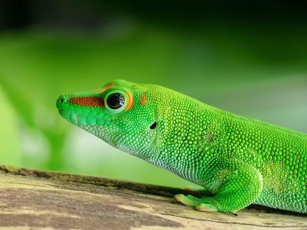 Taggecko: Arten, Lebensraum & Haltung