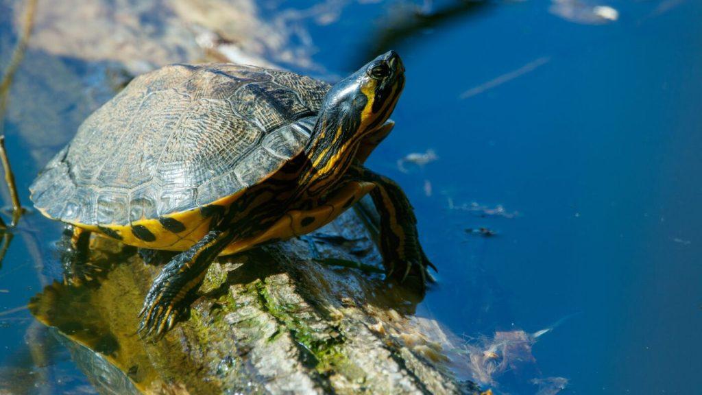 Gelbwangenschildkröte: Lebensraum, Pflege & Haltung