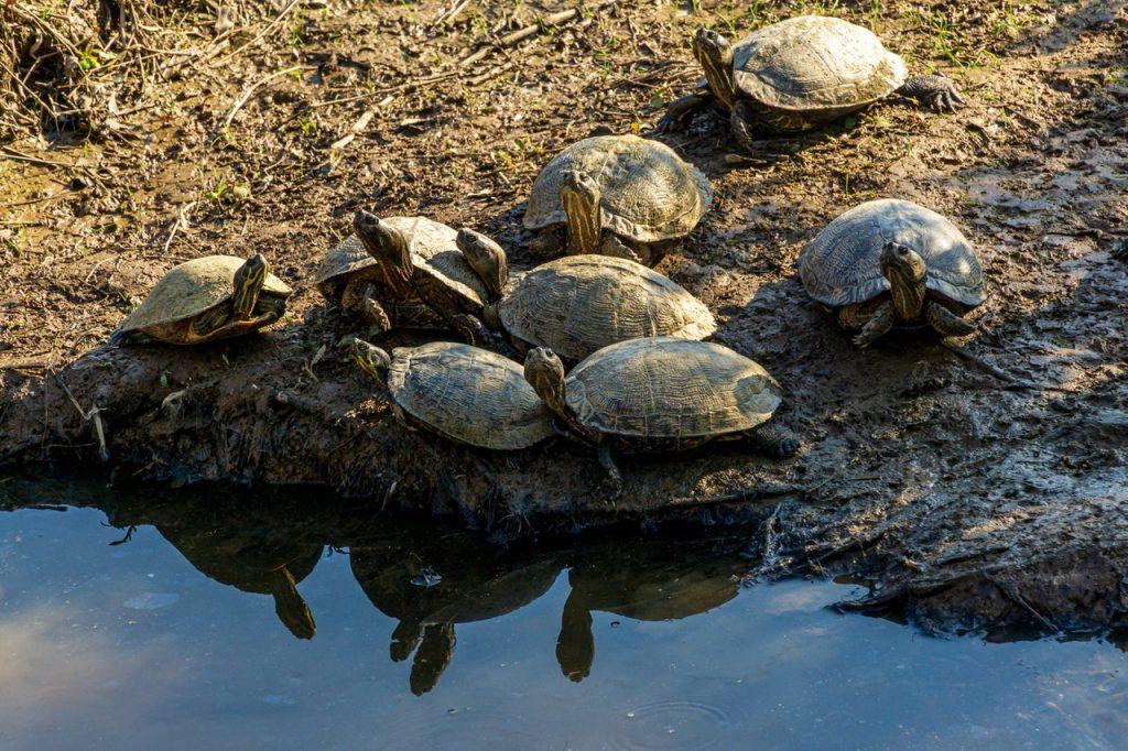 Moschusschildkröte: Arten, Lebensraum & Haltung