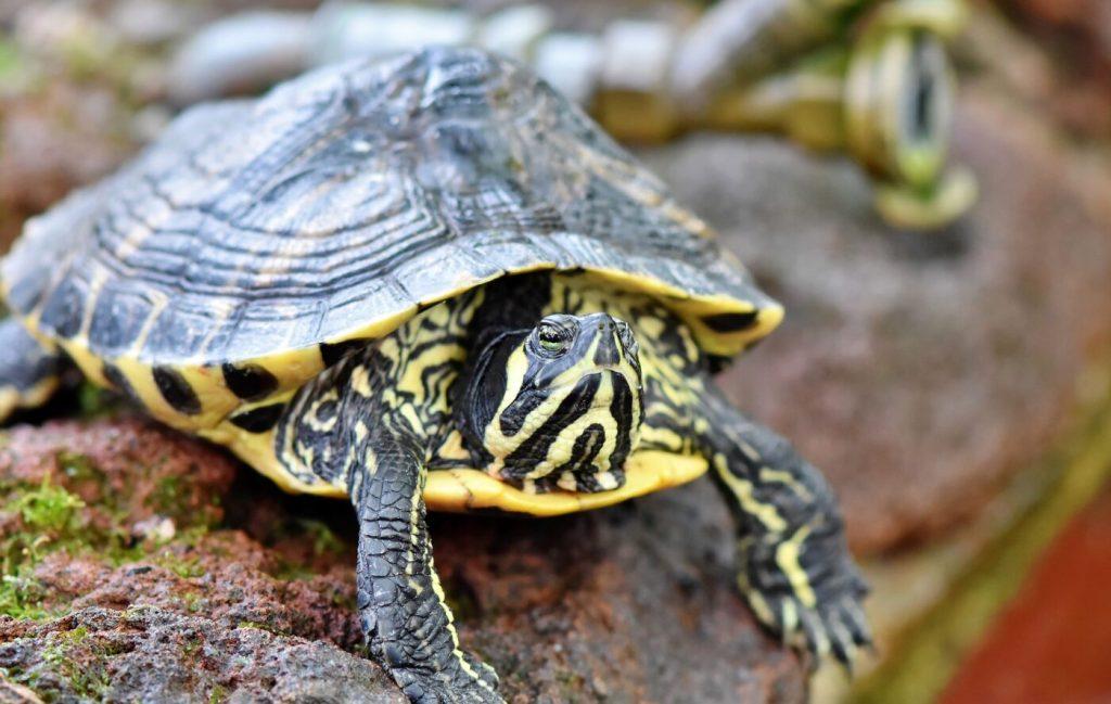Wasserschildkröte: Arten, Lebensraum & Haltung