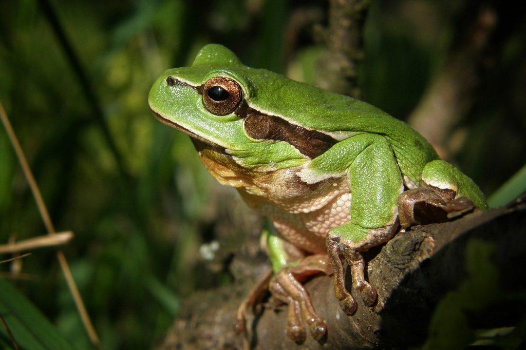Laubfrosch: Arten, Lebensraum & Haltung