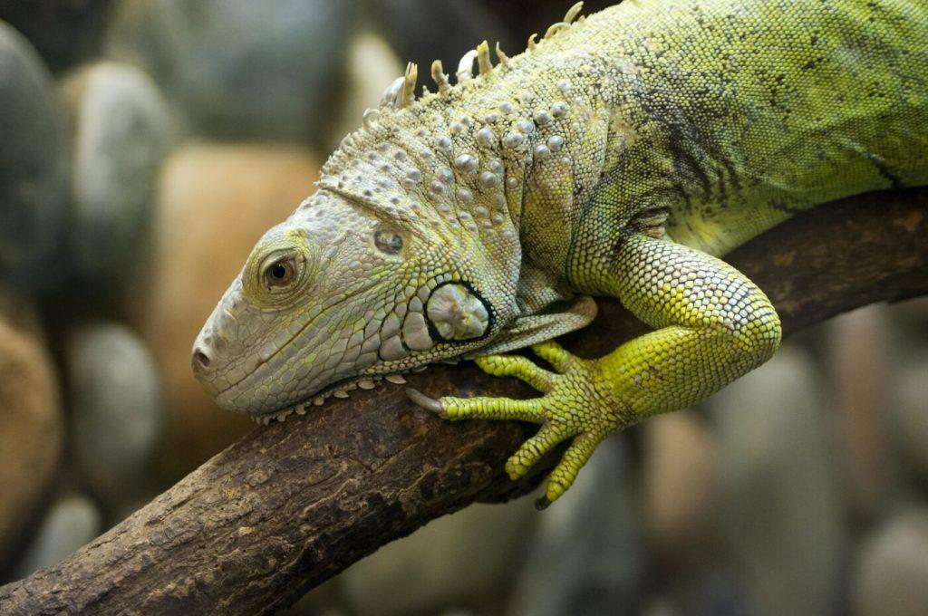 Grüner Leguan: Lebensraum, Pflege & Haltung