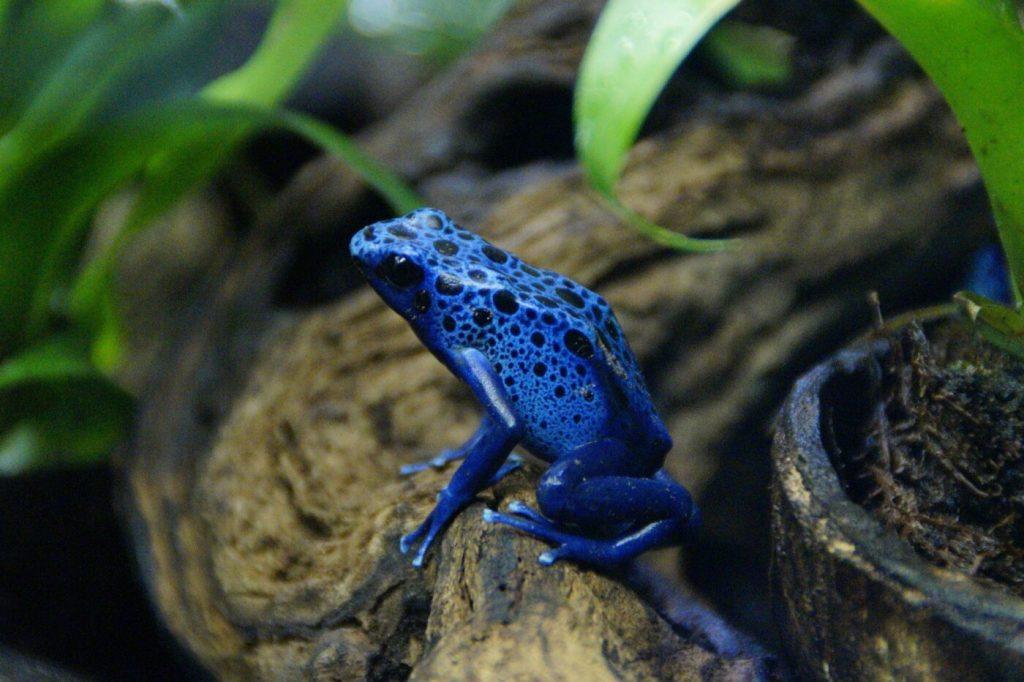 Blauer Baumsteiger: Lebensraum, Pflege & Haltung